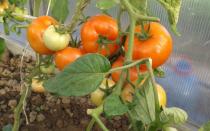Томат Примадонна: характеристика и описание сорта, урожайность и фото отзывы кто сажал