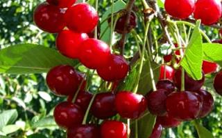 Вишня Шубинка: описание и характеристики сорта, урожайность, посадка и уход с фото