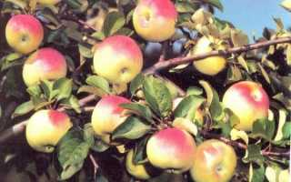 Яблоня Юбиляр: описание и характеристики сорта, посадка, выращивание и уход