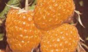 Сорта белой малины | ЛИЧНЫЙ ДОМ