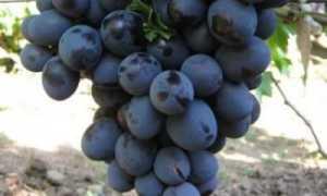 Виноград Ришелье: описание сорта и характеристики, правила посадки и ухода