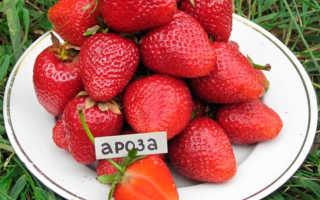 Клубника Ароза: описание и характеристики сорта, выращивание, методы размножения