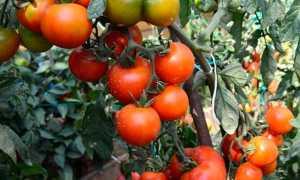 Томат Андромеда: описание сорта и характеристика, характеристика выращивания, отзывы, фото