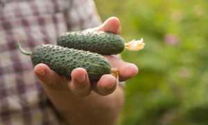 Огурец Муравей: характеристика и описание сорта, его урожайность с фото