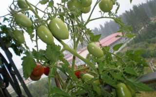 Томат Челнок: характеристика и описание сорта, урожайность с фото