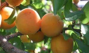 Абрикос Графиня: описание и характеристики сорта, особенности выращивания с фото