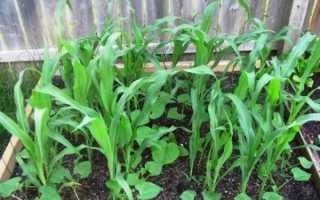Посадка огурцов с кукурузой в открытый грунт: как сажать и можно ли?
