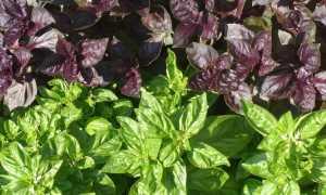 Можно ли сеять базилик под зиму: как сажать и ухаживать