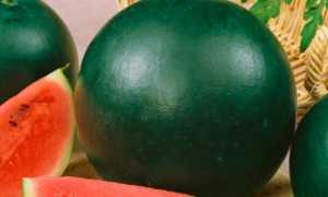 Арбуз Огонек: описание сорта, выращивание в открытом грунте и теплице с фото