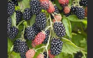 Ежевика Полар: описание и характеристика сорта, посадка и уход, хранение урожая
