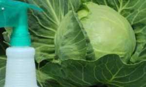 Валерьянка для капусты от вредителей: как обработать и опрыскать, можно ли