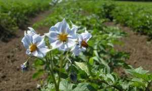 Нужно ли обрывать цветы у картофеля во время цветения?
