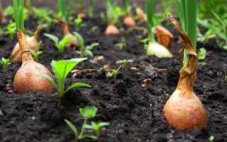 Когда убирать лук-севок с грядки на хранение и как сохранить до весны?