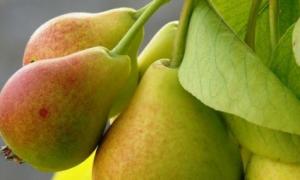 Чем подкормить грушу весной, летом и осенью, нормы внесения удобрений